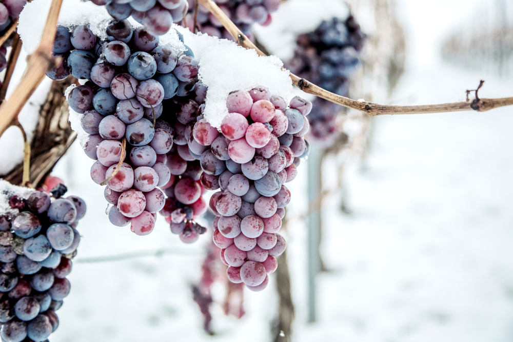 Wine red grapes for ice wine in winter condition and snow.