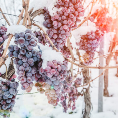 Wine red grapes for ice wine in winter condition and snow