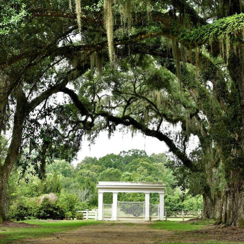 Live oak branches at Rosedown Plantation.