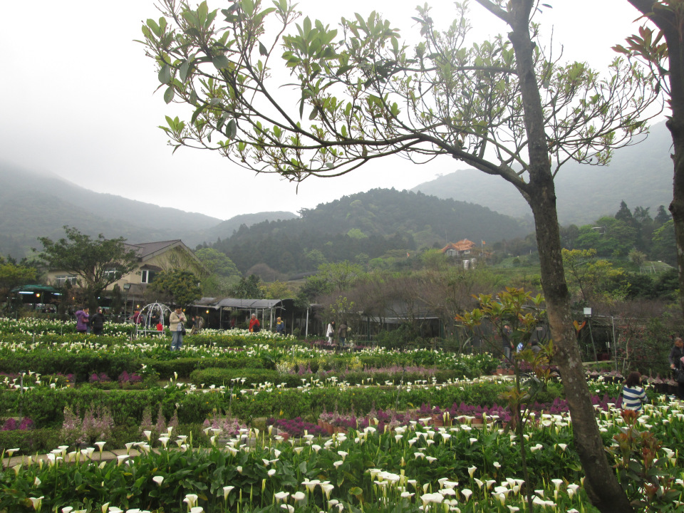 Calla lily garden in Taipei, Taiwan.