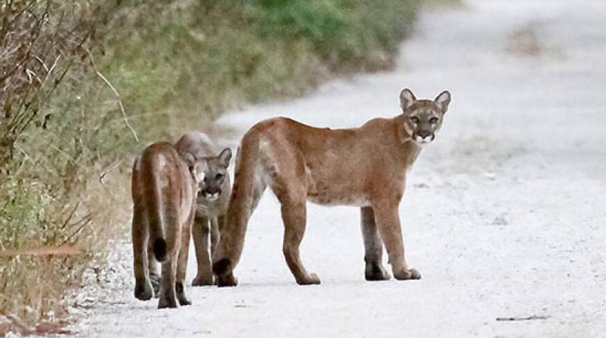 Three Florida panthers.