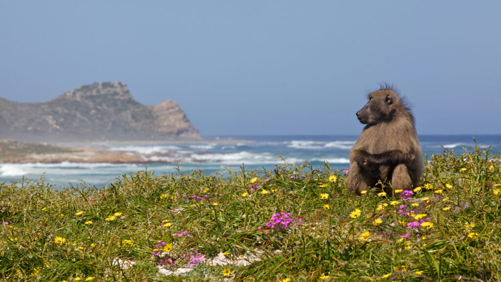 A baboon sitting amongst flowers near the Cape of Good Hope