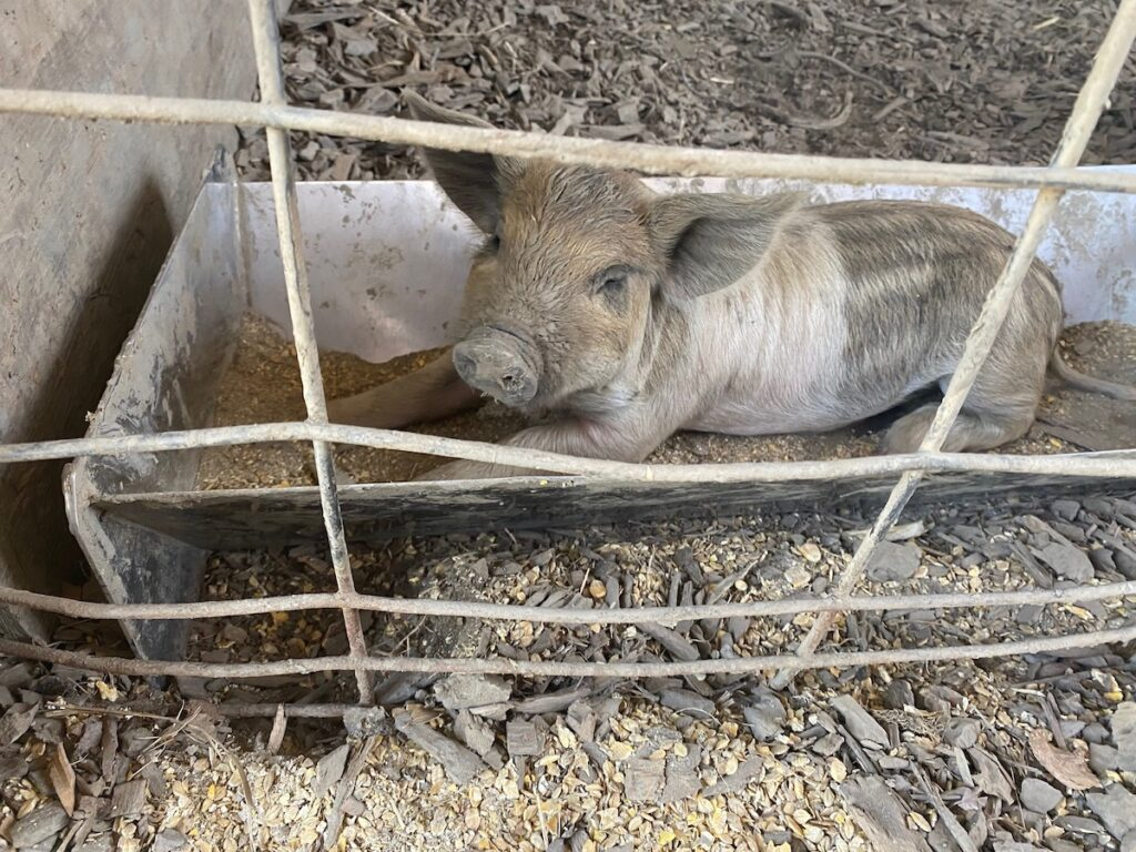 A baby pig at DaVero Farms.