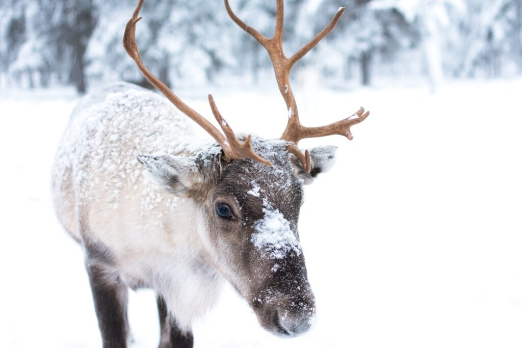 A baby reindeer in the snow.