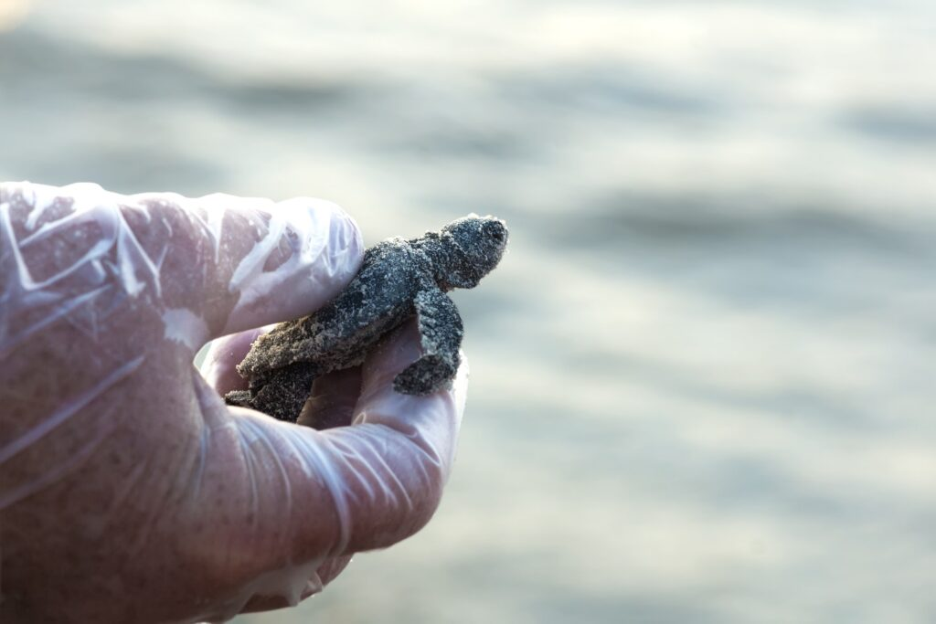 A baby sea turtle in Texas.