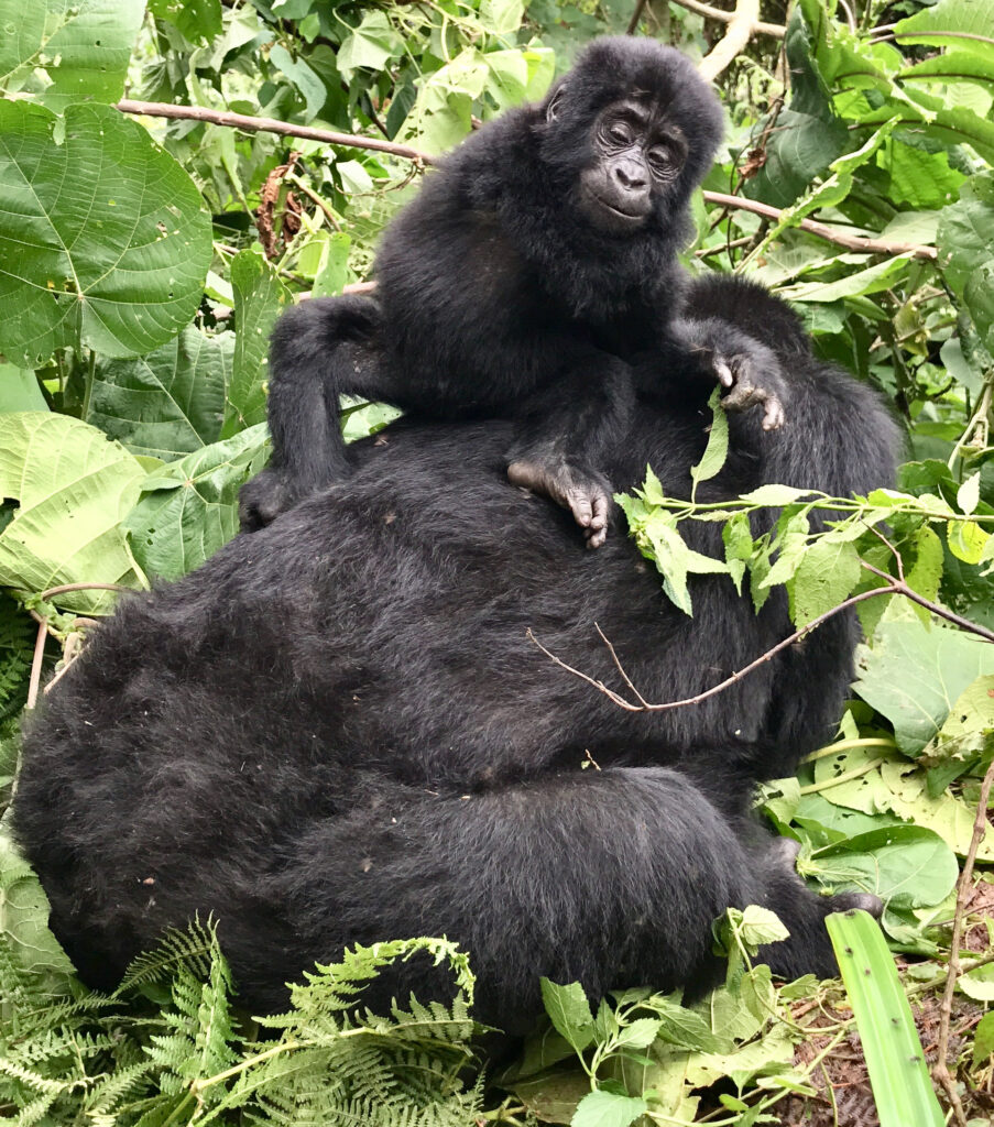 A baby Ugandan gorilla and its mother.
