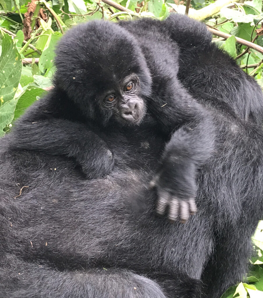 A baby Ugandan gorilla clings to its mother.