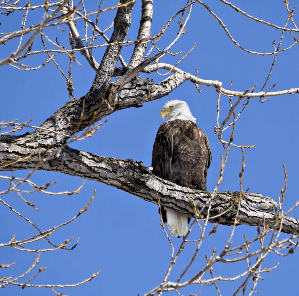 A bald eagle along the Mississippi River.