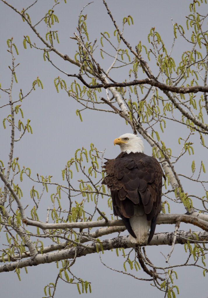 A bald eagle in the Shiloh Conservation Area.