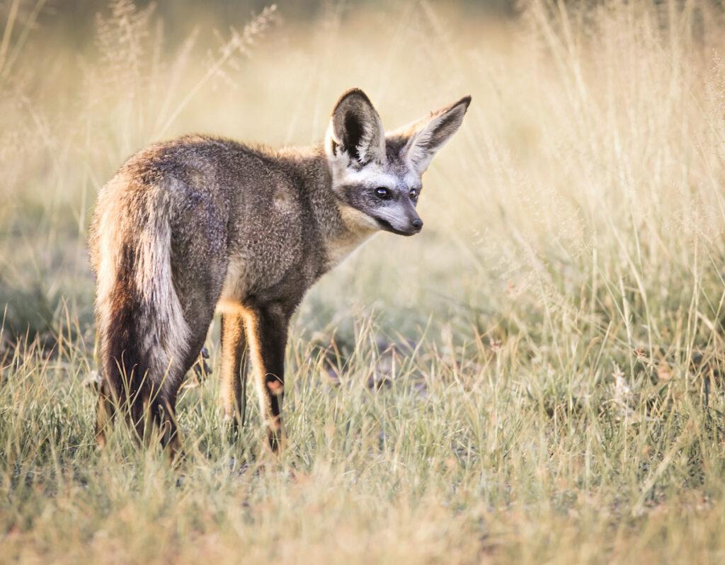 A bat-eared fox.