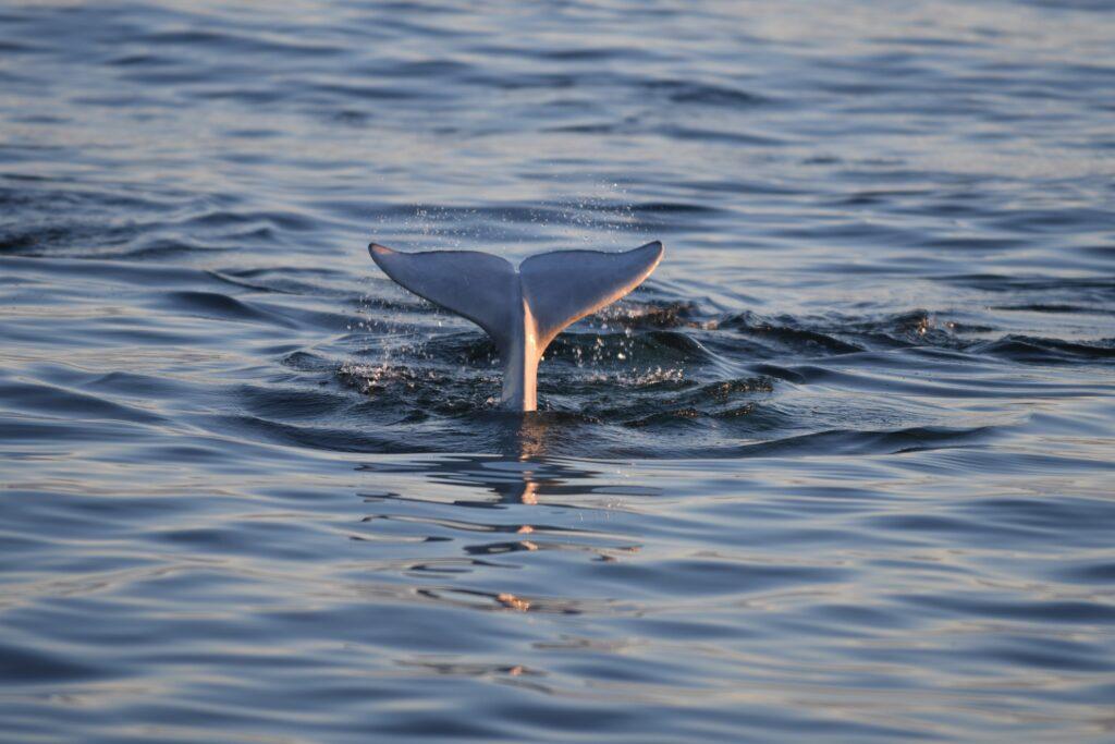 A beluga whale in Churchill, Canada.