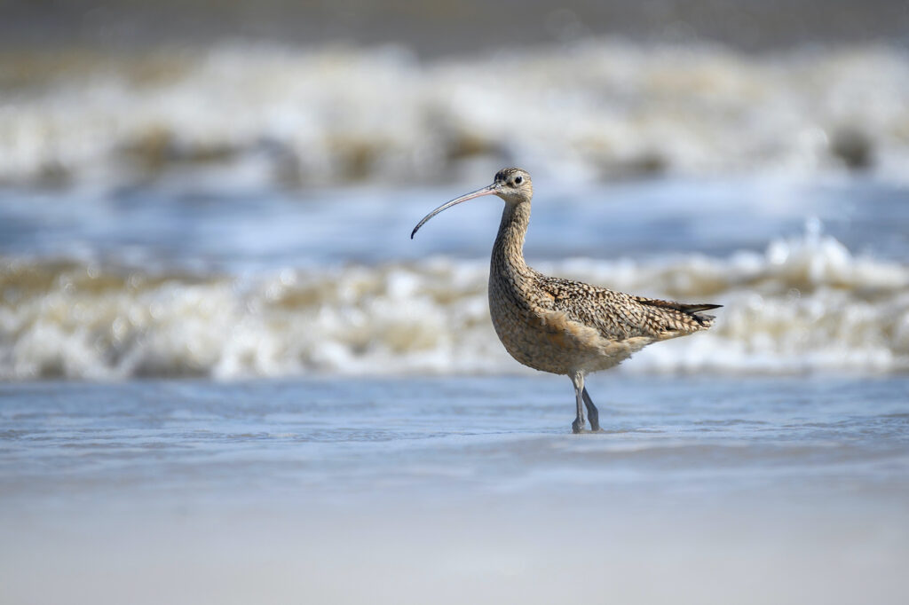 A bird in the surf at Padre Island National Seashore.