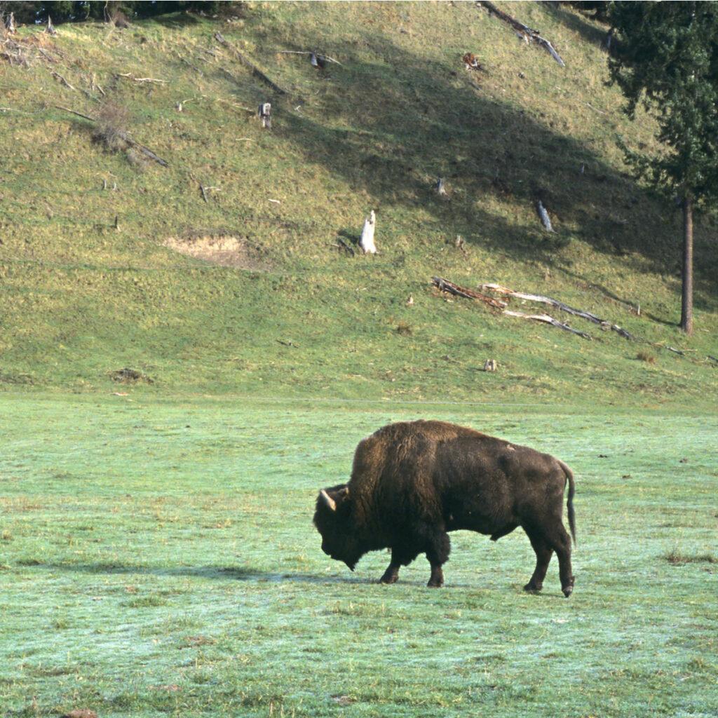 A bison at Northwest Trek near Tacoma, Washington.