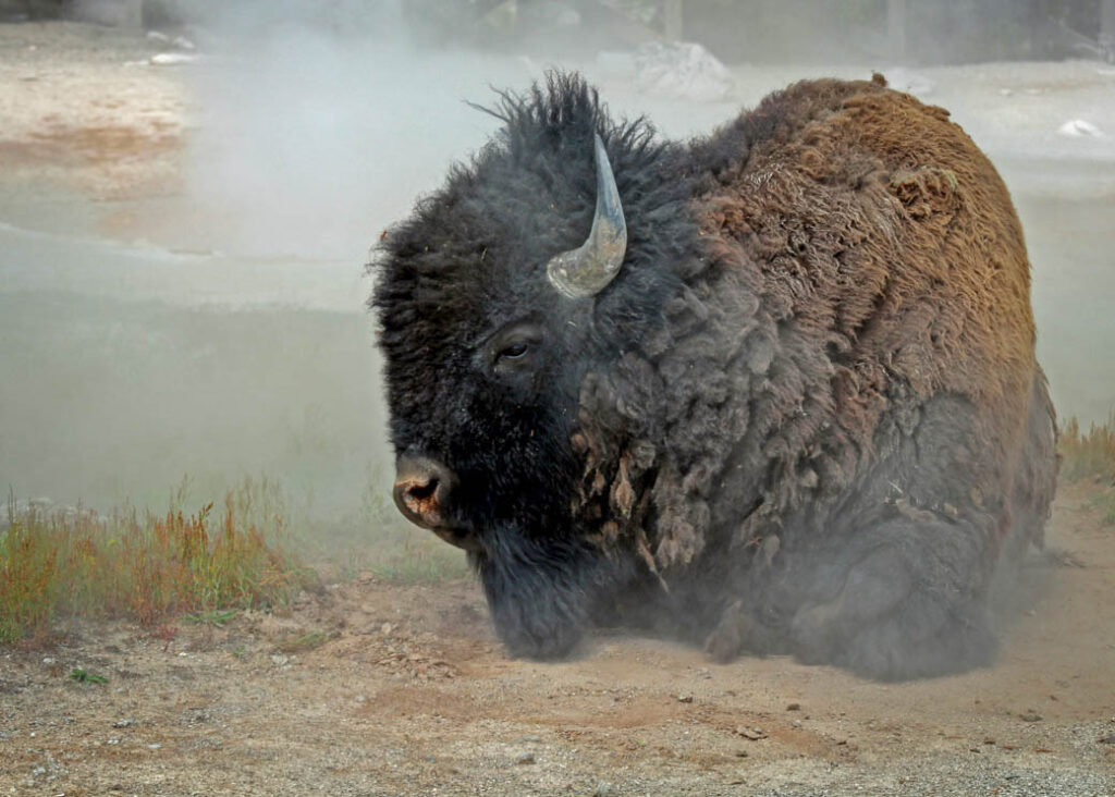 A bison near a geyser in Yellowstone National Park.