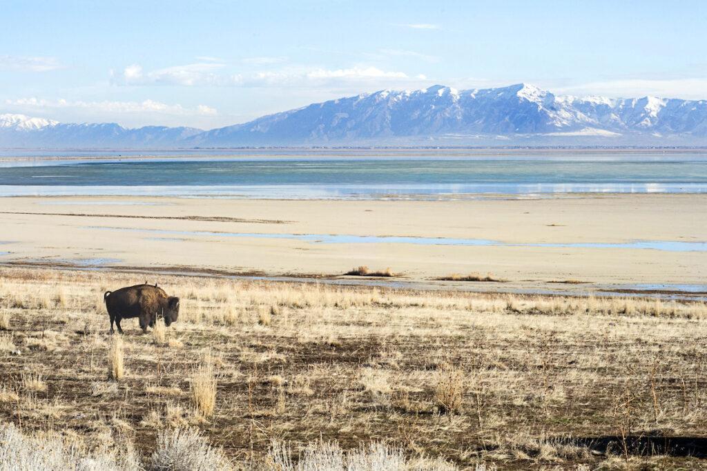 A bison on Antelope Island near Salt Lake City, Utah.