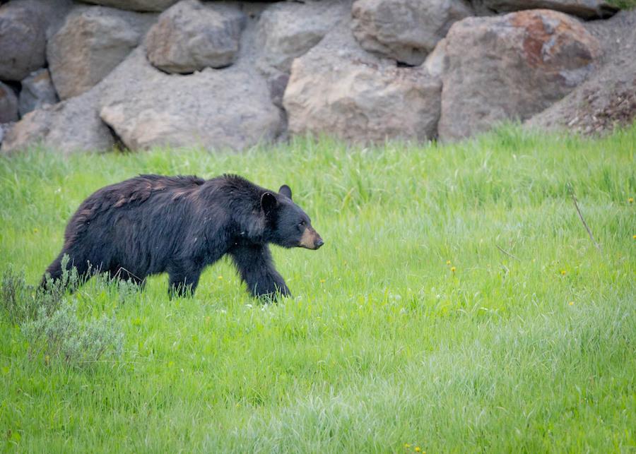 A black bear in Shenandoah National Park.