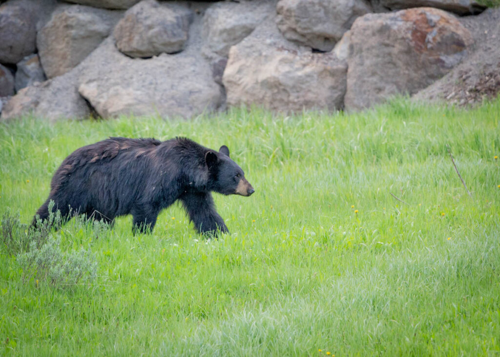 A black bear in Yellowstone National Park.