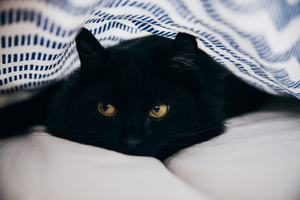 A black cat nestled under the covers