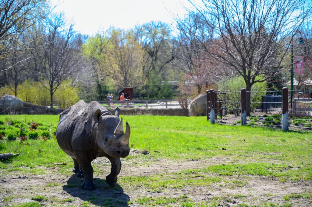 A black rhinoceros at the Great Plains Zoo.