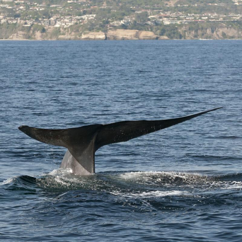 A blue whale off the coast of Dana Point, California.