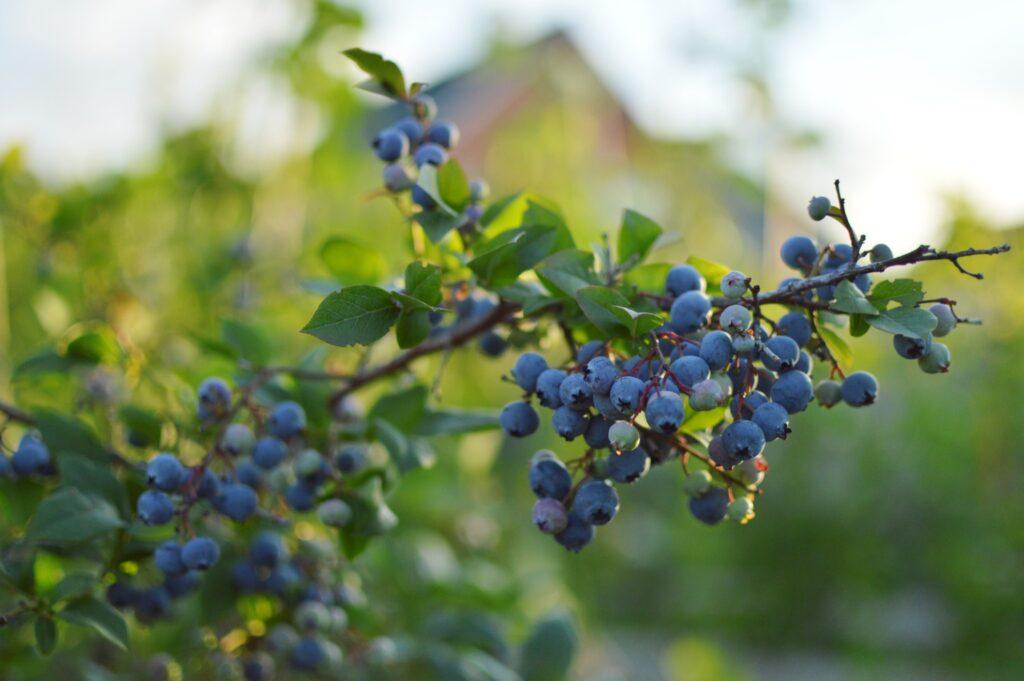 A blueberry patch.