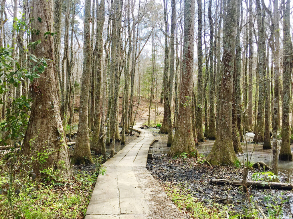 A boardwalk through Dismal Swamp in South Mills, North Carolina.