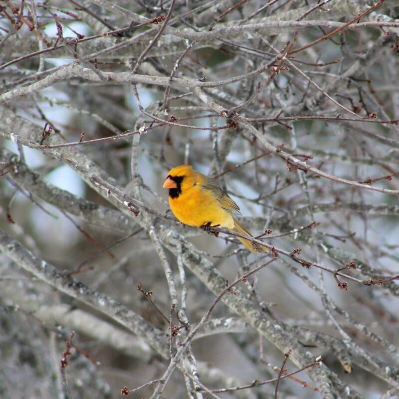 A bright yellow cardinal.