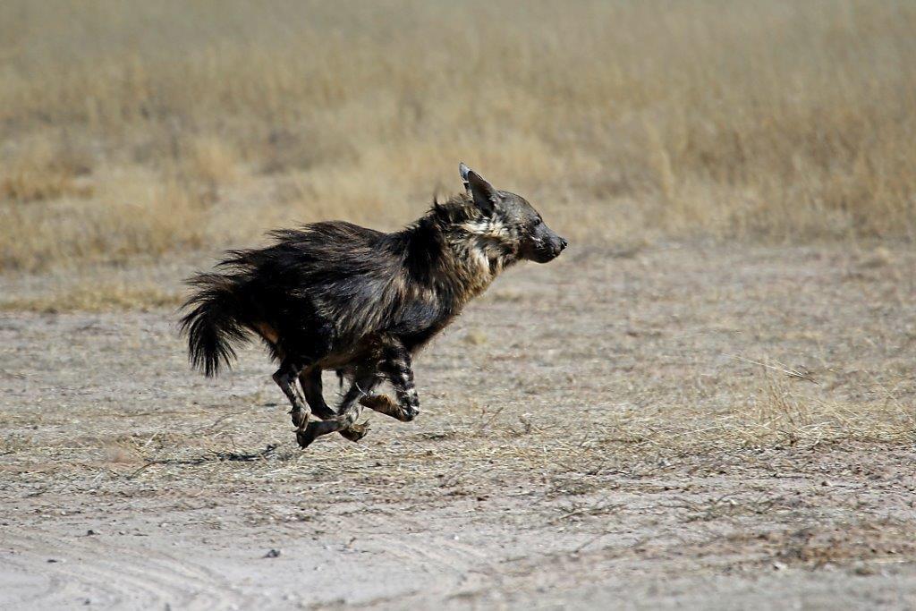 A brown hyena in Botswana's Central Kalahari Game Reserve.