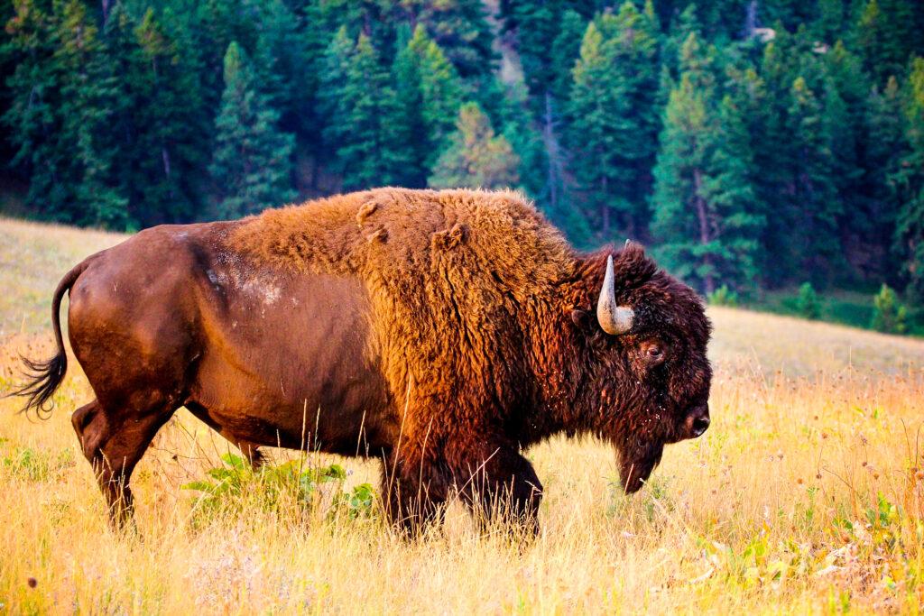 A buffalo in the National Grasslands of South Dakota.