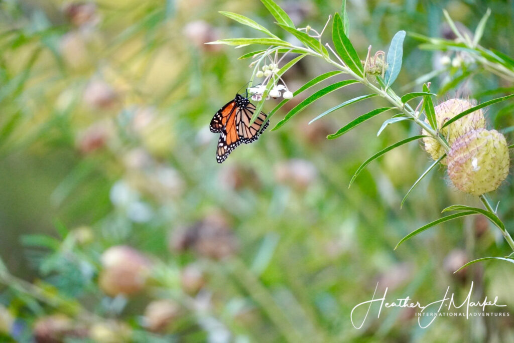 A butterfly on the writer's back yard in New Zealand.