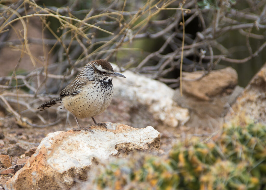 A cactus wren at the Desert Botanical Garden in Phoenix, Arizona.