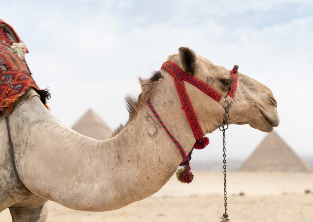 A camel in Egypt.