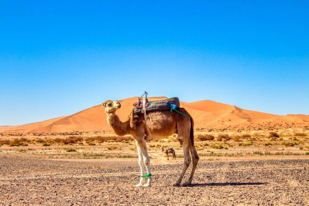 A camel in the Sahara Desert of Morocco.