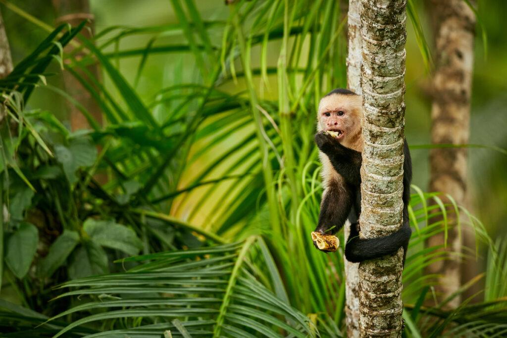 A capuchin monkey in Costa Rica.