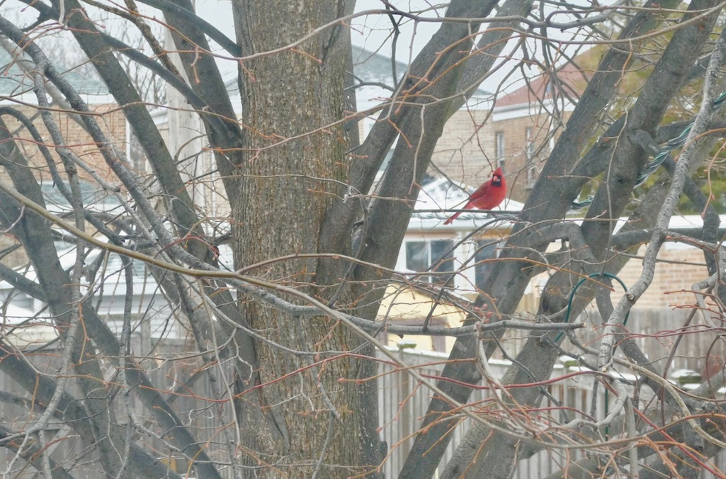 A cardinal in a tree during winter.