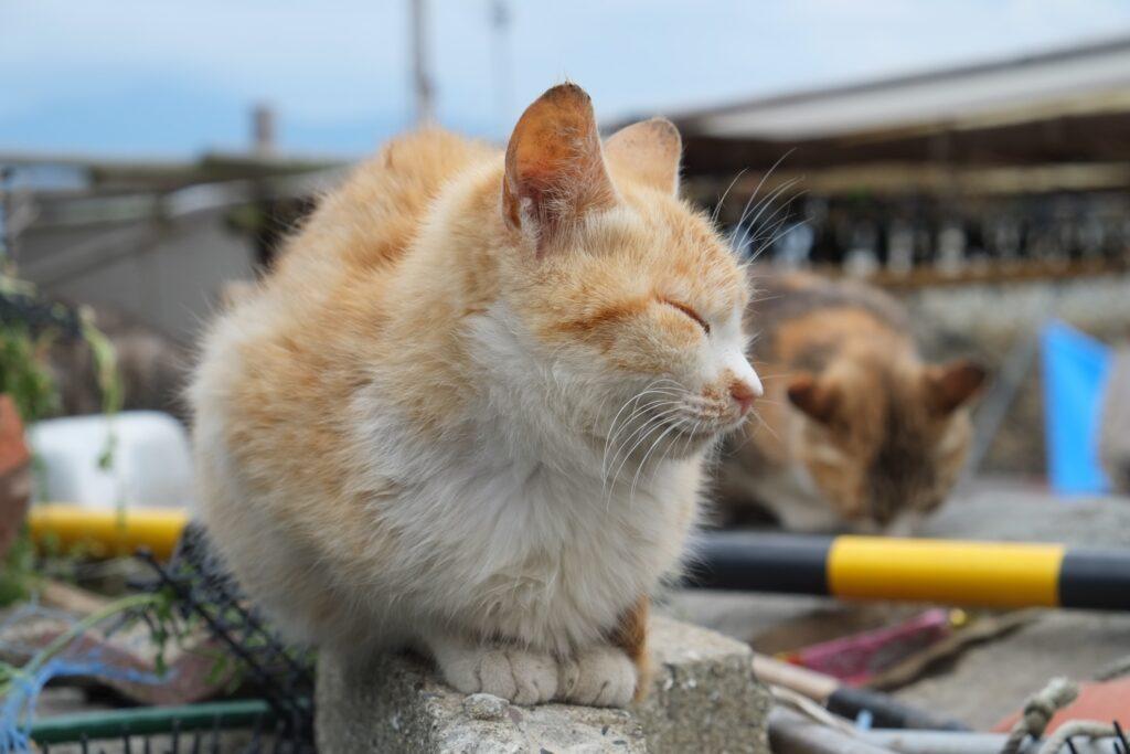 A cat on Japan's Cat Island.