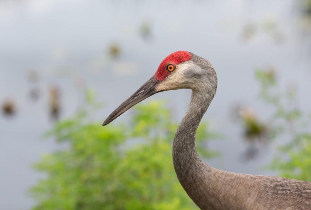 A close-up of a sandhill crane.