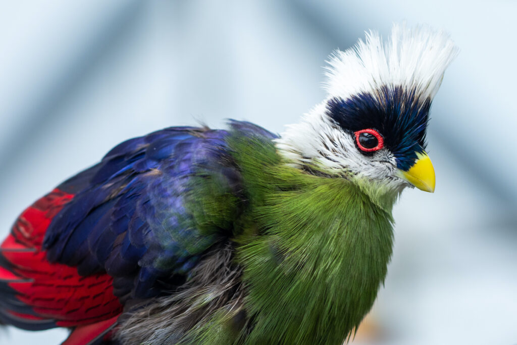 A close-up of a turaco.