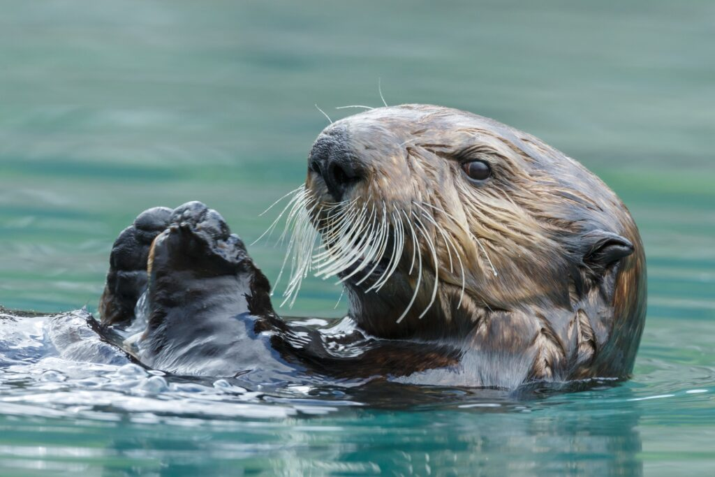 A close-up of a wild sea otter.
