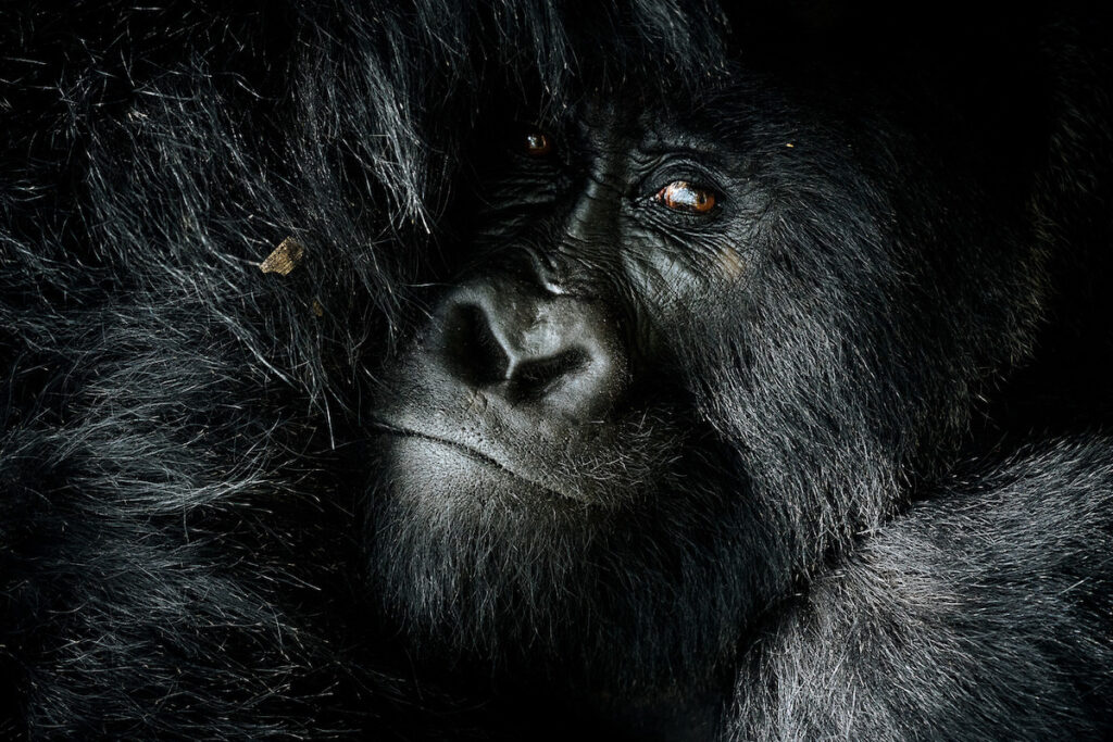 A close-up shot of a gorilla.