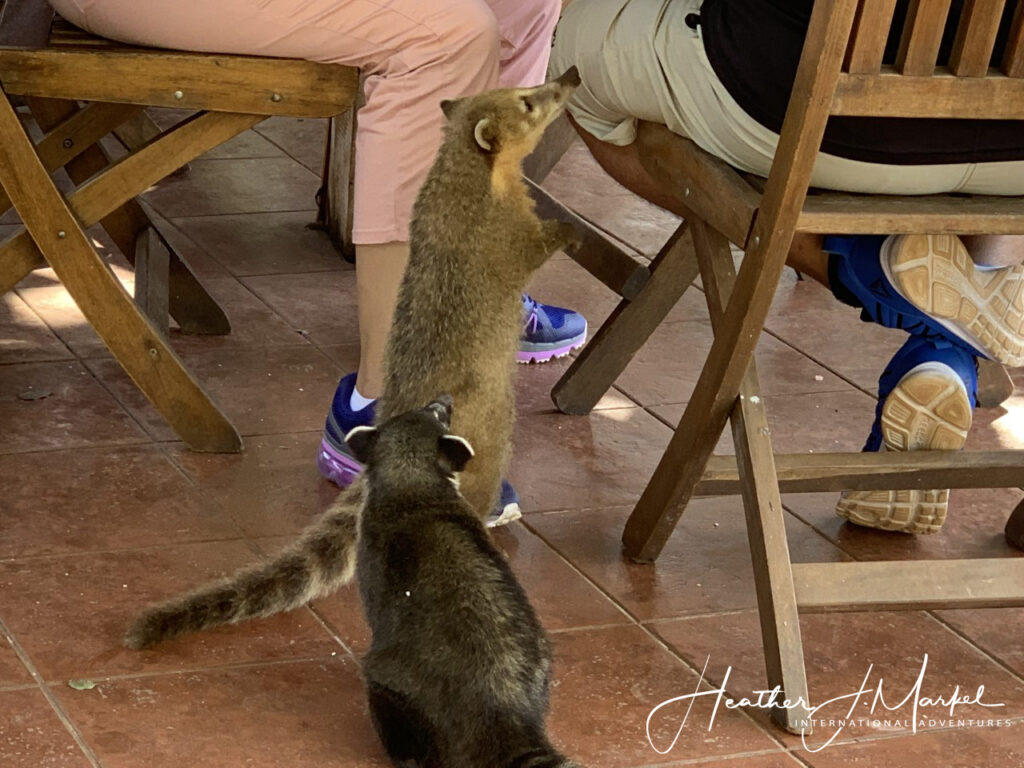 A coati begging for food in Argentina.