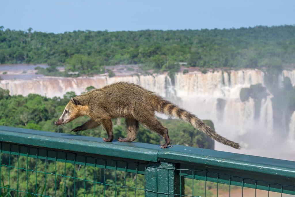 A coatie at Iguazu Falls.