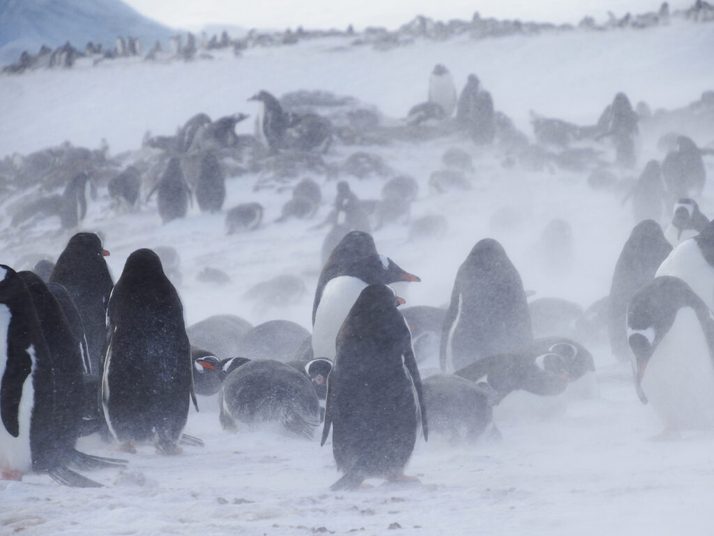 A colony of penguins at Cuverville Island.