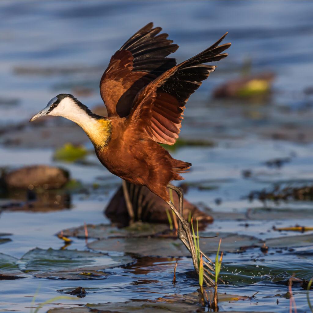 A colorful bird along the Chobe River.