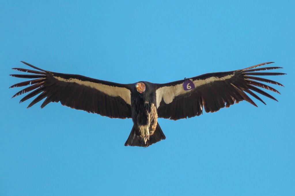 A condor at Pinnacles National Park.
