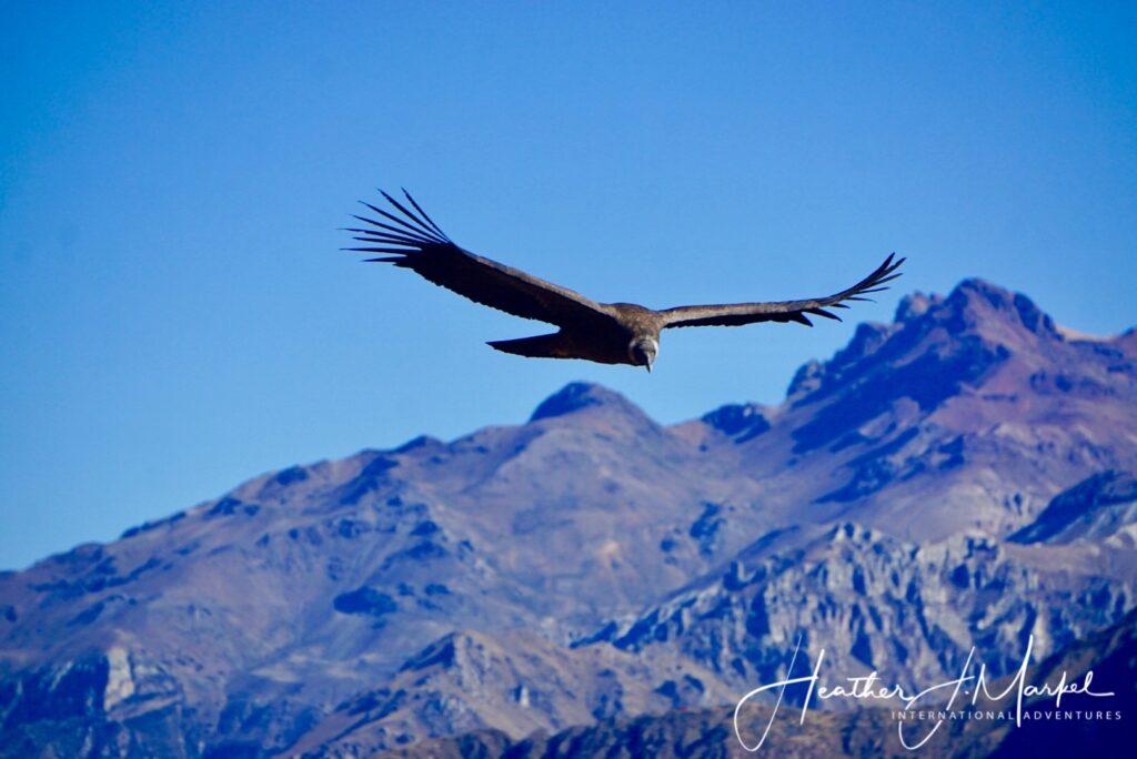 A condor in flight over Peru.