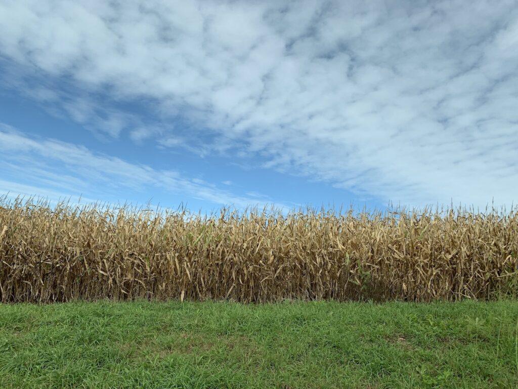 A corn maze in Wisconsin.