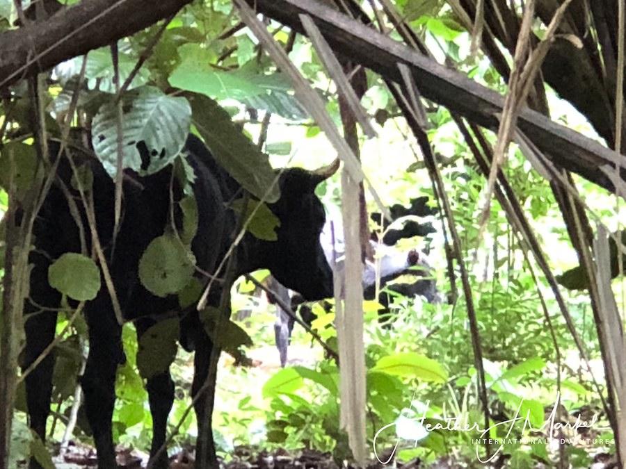 A cow in the jungle of Uvita.
