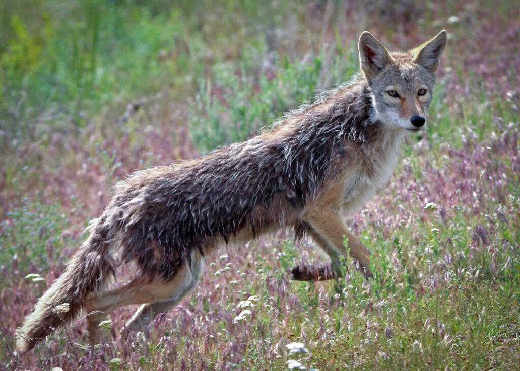 A coyote at Yellowstone National Park.