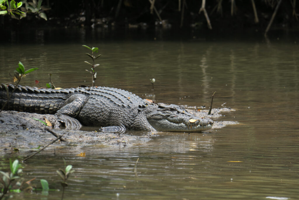 A crocodile in the Daintree Forest.